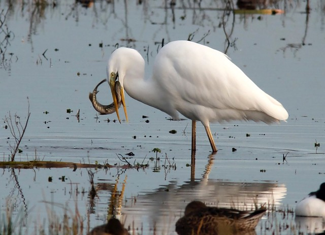 A Great White Egret's lunch
