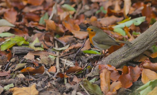 Woodland Robins @ SE22