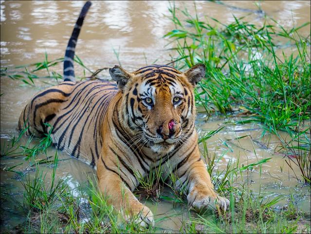 Royal Bengal Tiger (Panthera tigris)