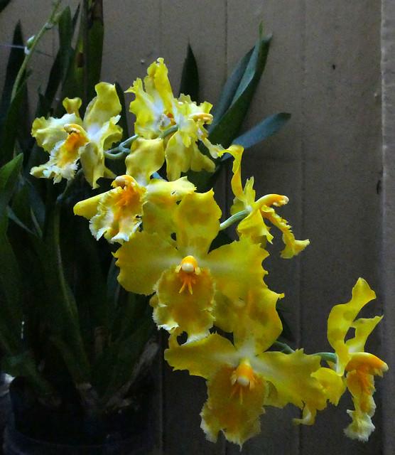 Oncidium George McMahon 1-2 hybrid orchid 11-20*