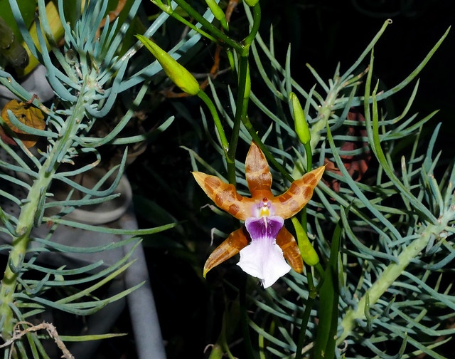 1st flower of the season for Miltonia clowesii 'Diego' species orchid 11-20*