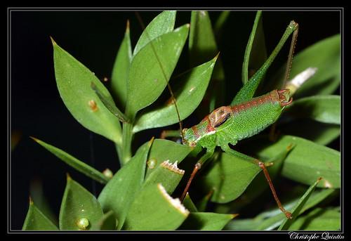 Sauterelle ponctuée (Leptophyes punctatissima) mâle