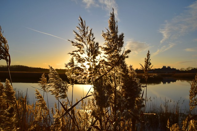 Golden Reeds, River Alde, Snape, Suffolk. 22 11 2020