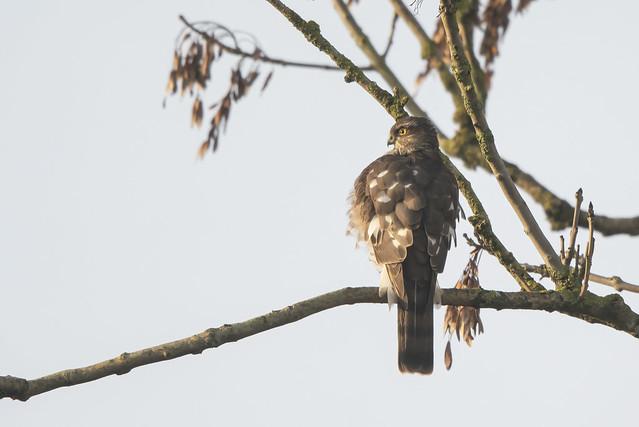 Sparrowhawk-5055098-10