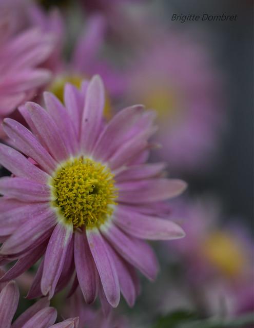 Les jours passent...les fleurs aussi...