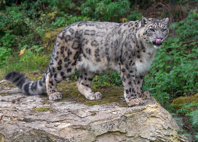 Leopard's tongue..
