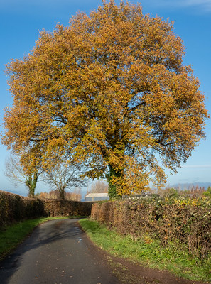 Photo of a very large tree full of orange autumnal leaves at the side of a country road