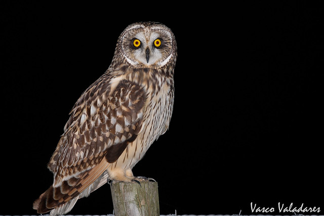 Coruja-do-nabal, Short-eared Owl (Asio flammeus)