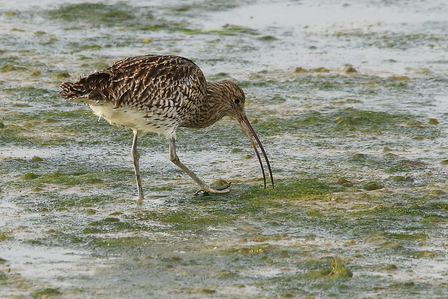 Curlew at Farlington Marshes, Portsmouth