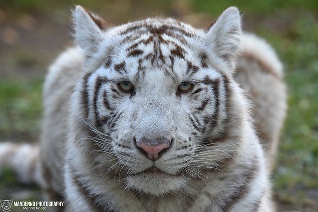 Bengal white tiger - Zoo Amneville