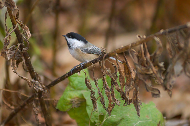Morning Forage   Black Capped Chickadee