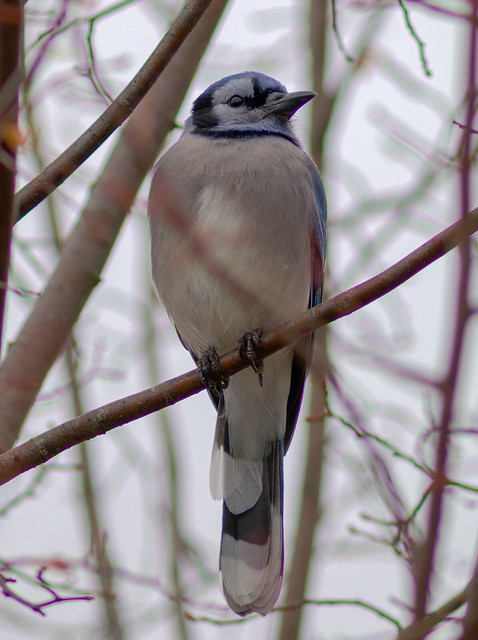 Early morning watch | Blue Jay