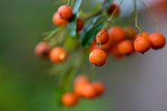 Firethorn (Pyracantha) berries