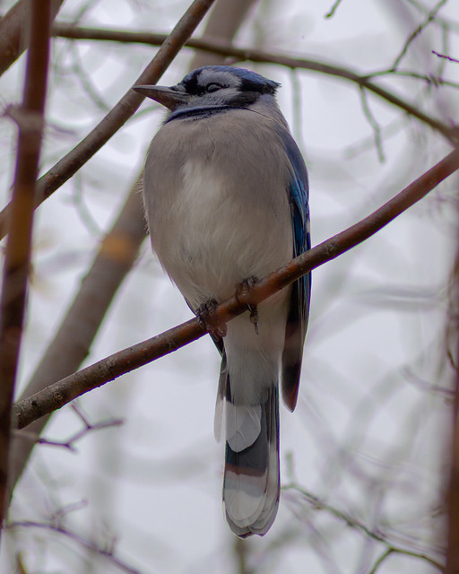 Natural Beauty | Blue Jay | Sitting and Watching