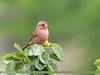 Red-Mantled Rosefinch (Carpodacus rhodochlamys) by gilgit2