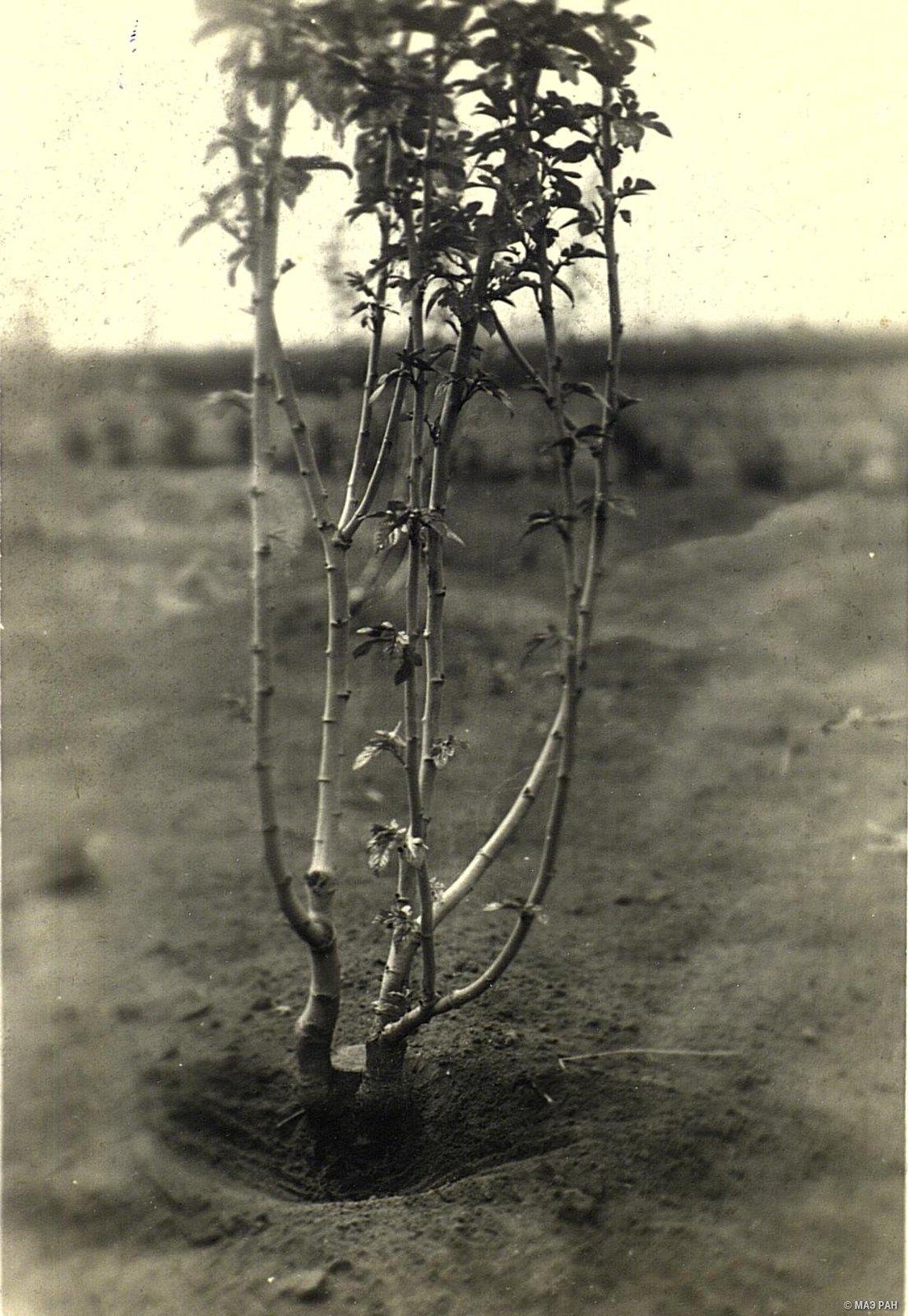 06. Тутовое дерево на шелководческой опытной станции