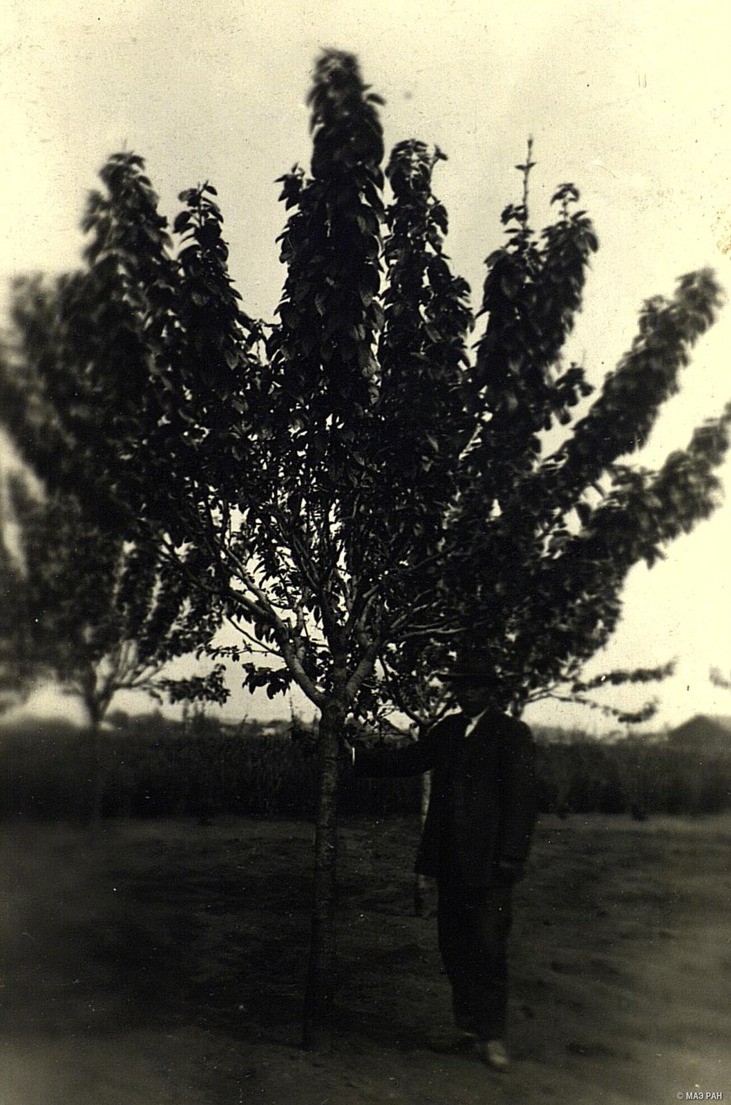 03. Тутовое дерево на шелководческой опытной станции