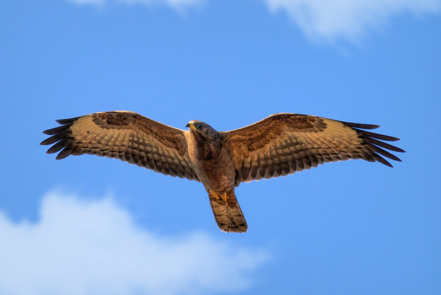 Common Buzzard is hunting