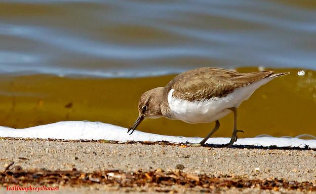 Common Sandpiper feeding