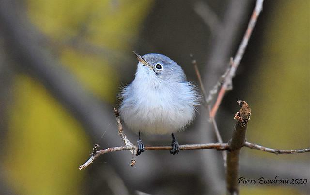 Gobemoucheron gris-bleu - Blue-gray Gnatcatcher Île Perrot Novembre - November 2020.