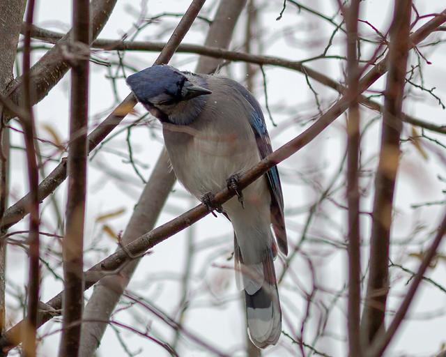 Water Flick | Blue Jay Head Movement
