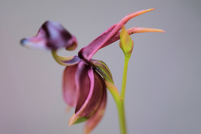 Caleana major - flying duck orchid