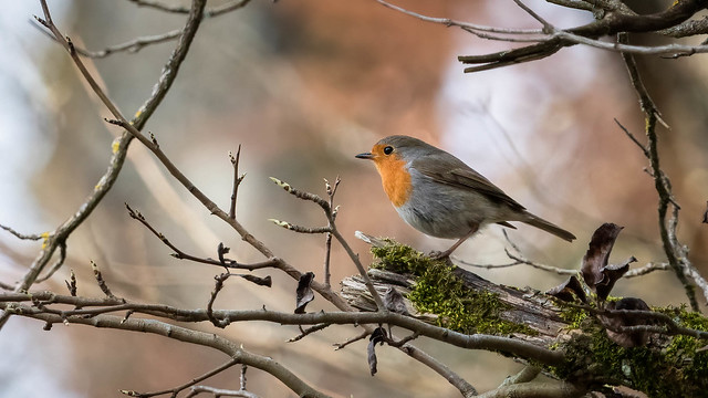Rouge-gorge - European robin