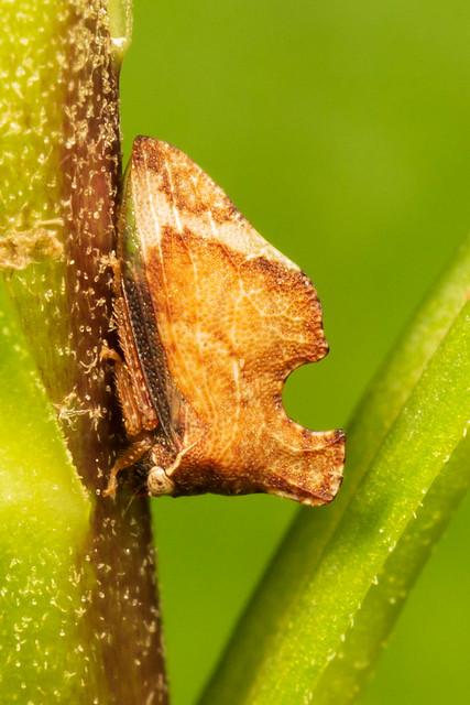 Treehopper - Entylia carinata