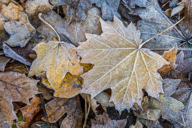 Herbstlaub - Ahornblätter
