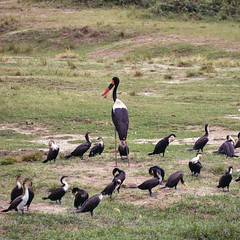 Saddle-bill Stork & Cormorants