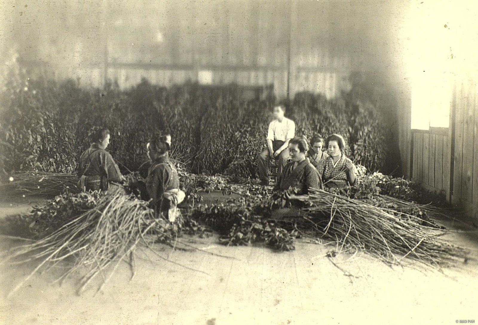 11. Срезание листьев тутового дерева для кормления шелковичных червей