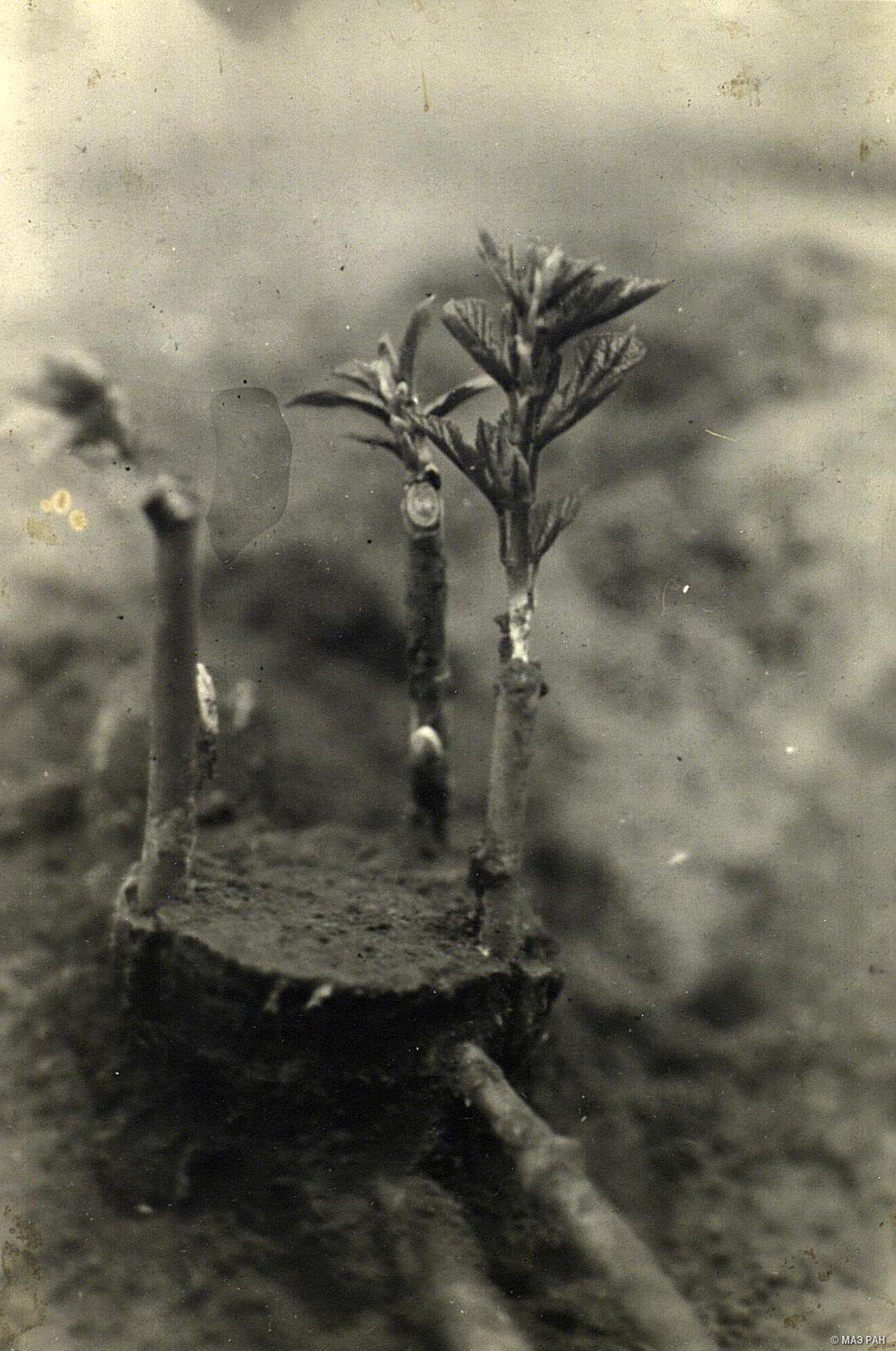 04. Тутовое дерево на шелководческой опытной станции