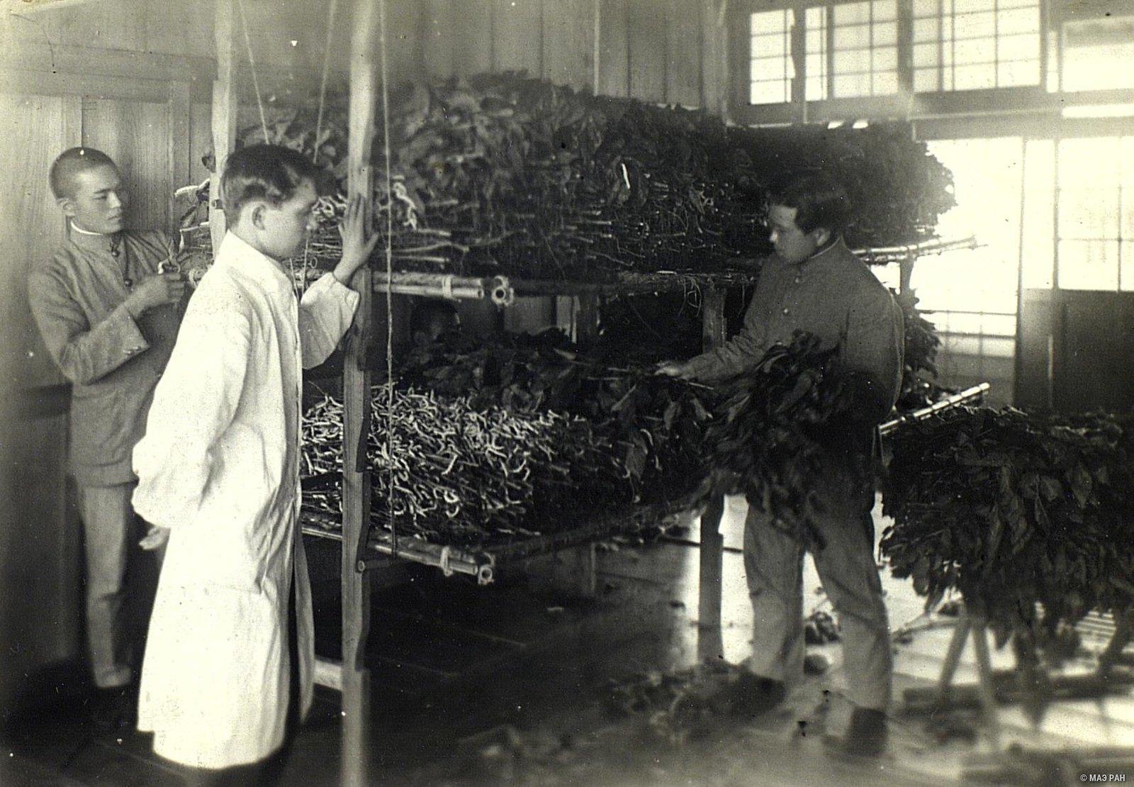 16. Один из последних периодов кормления шелковичных червей листьями тутового дерева