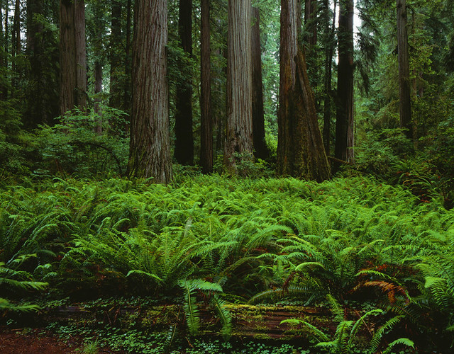 Giant Redwoods with ferns and ground cover Stout Grove Smith Redwoods State Park Northern California