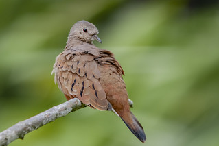 Ruddy Ground Dove | by PriscillaBurcher