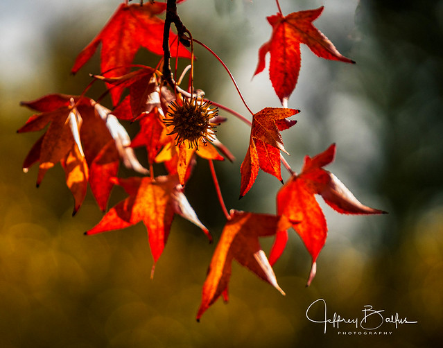 Red Leaves-