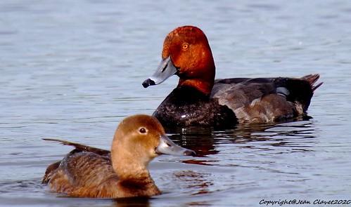 Fuligule à tête rouge/ Redhead (bird)