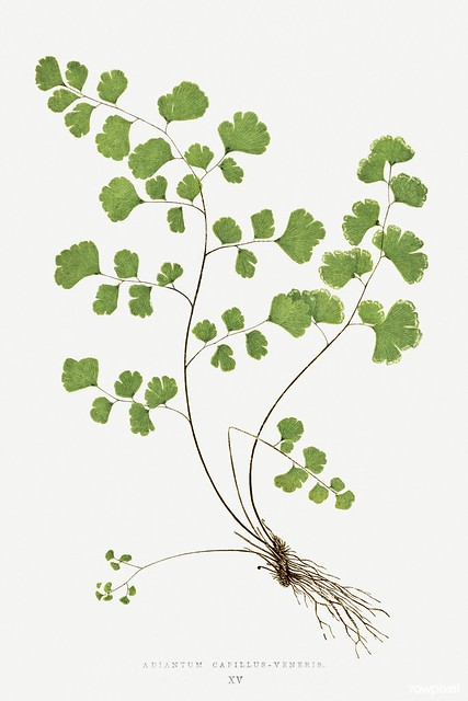 Adiantum Capillus–Veneris (Southern Maidenhair Fern) from Ferns: British and Exotic (1856-1860) by Edward Joseph Lowe. Original from Biodiversity Heritage Library. Digitally enhanced by rawpixel.