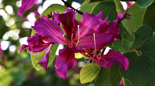 Purple Orchid Tree - St. Therese Catholic Church