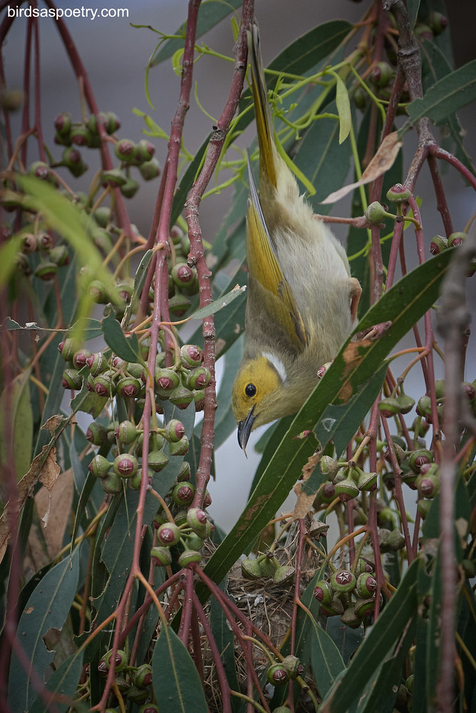 White-plumed Honeyeater: Feeding