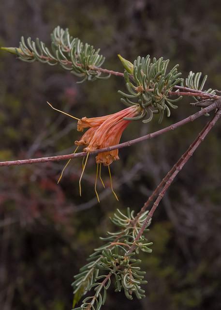 Lambertia ericifolia.