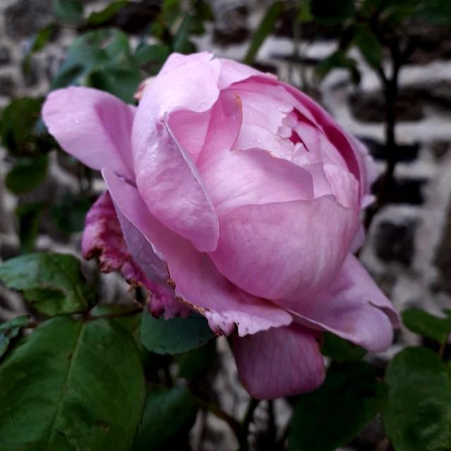 Rose du jardin.