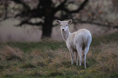 White Doe in Autumn