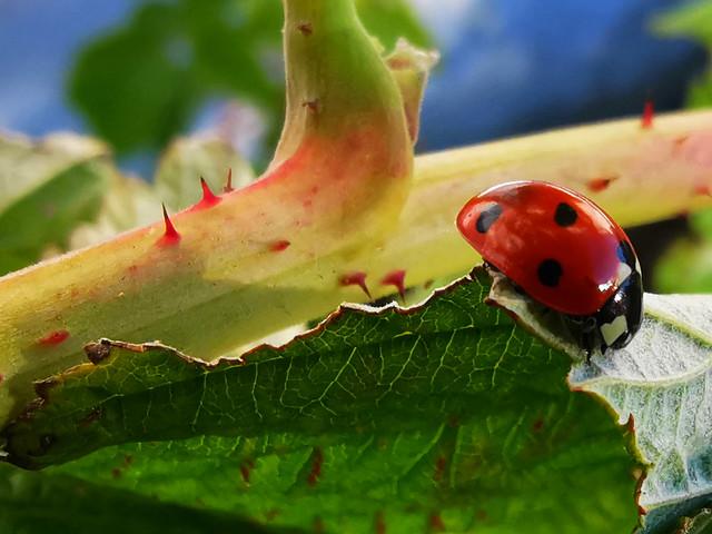 Thirteen spikes and a ladybug