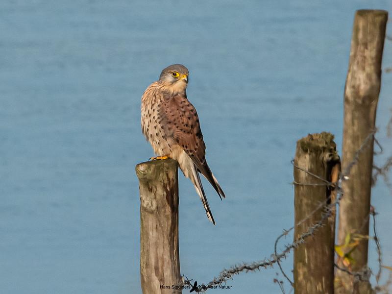 Torenvalk (Falco tinnunculus)-820_5957