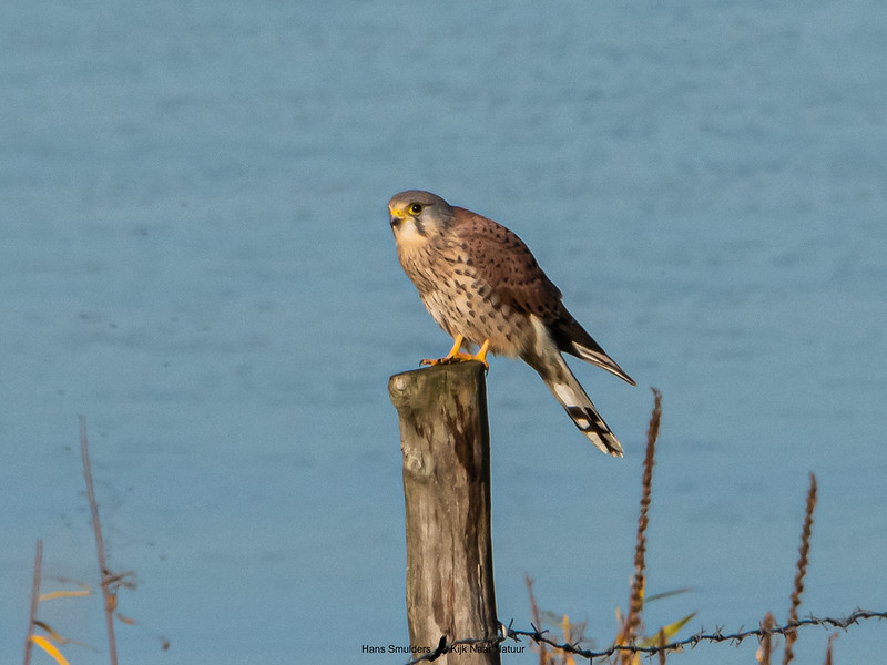 Torenvalk (Falco tinnunculus)-820_5947