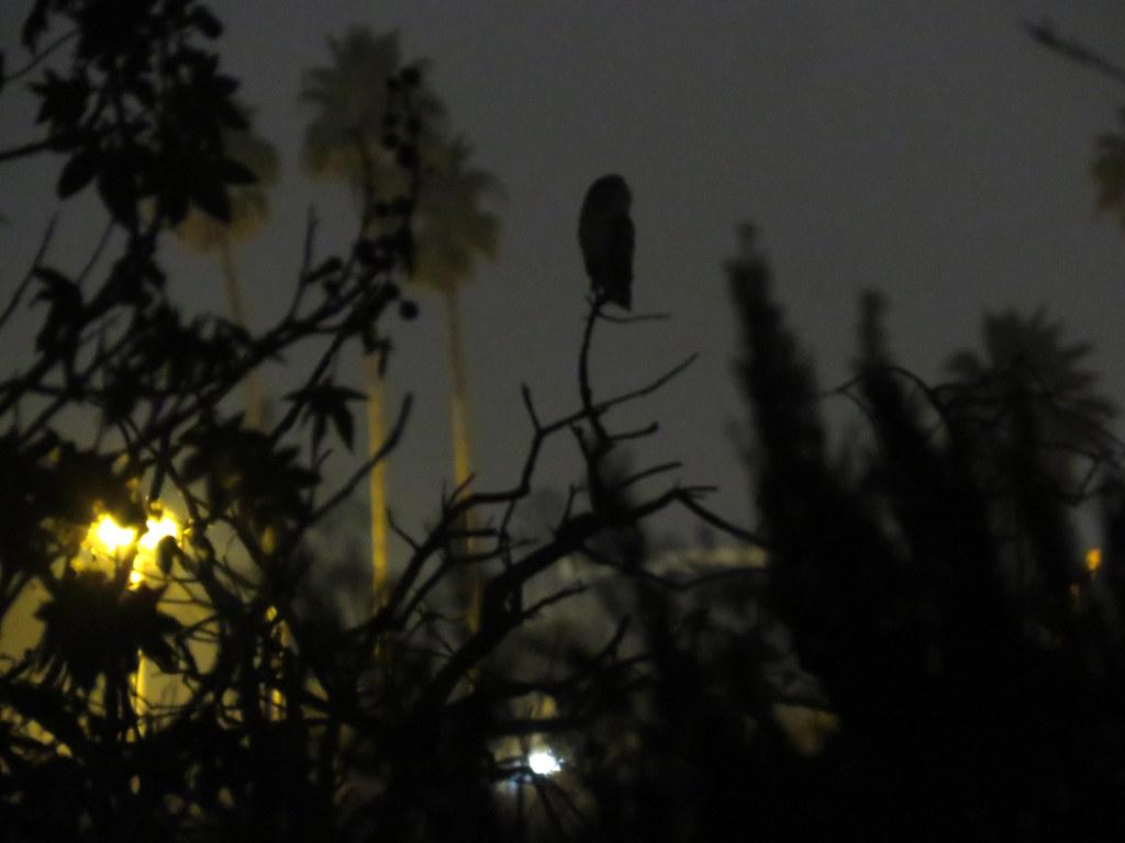 Barn Owl lookout