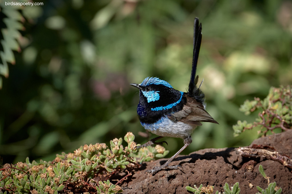 Superb Fairywren: Steppin' Out