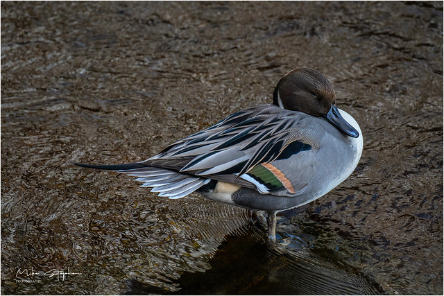 Resting Pintail