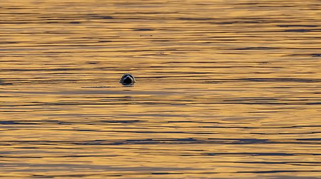 Grey seal / Útselur (Halichoerus grypus)
